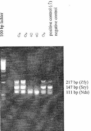 Amplicons obtained after PCR
